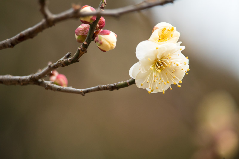 howto take japanese ume photograph