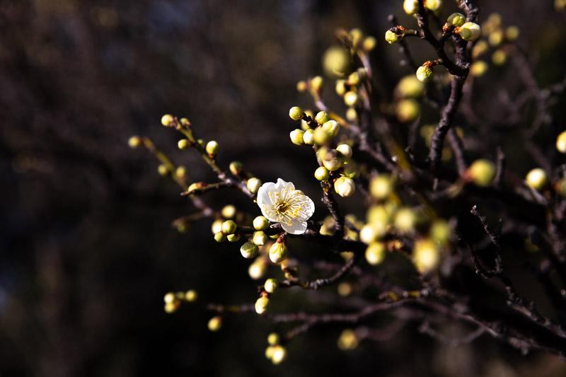 howto take japanese ume photography