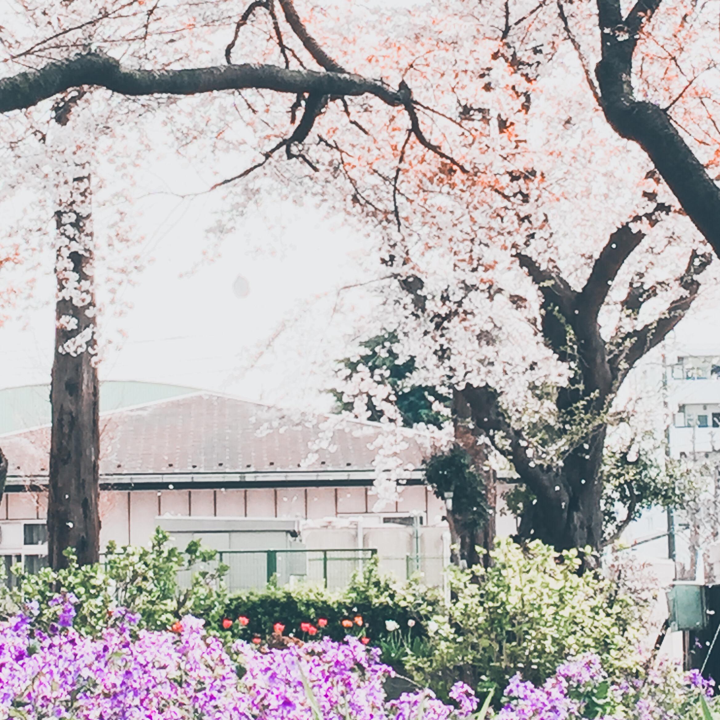 【写真の撮り方】SNSでいいね!がもらえる桜撮影のコツ PS Expressで加工した写真の例