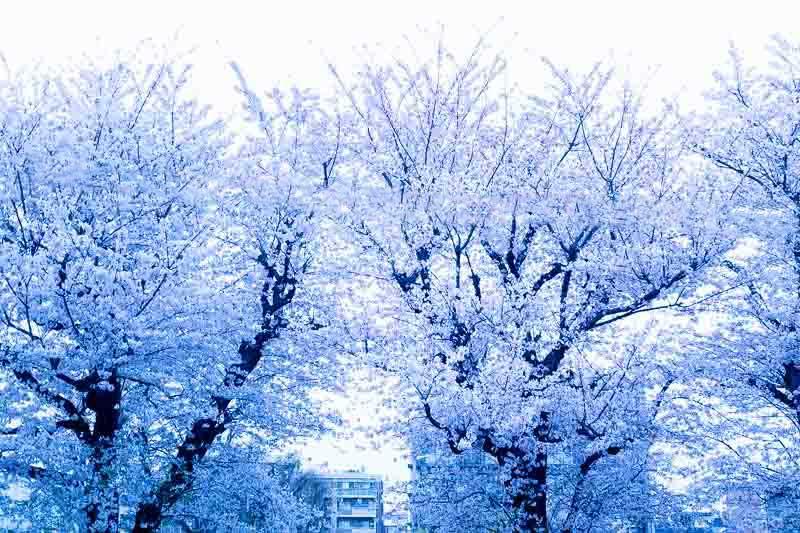 Photoshopで電線を消した桜写真
