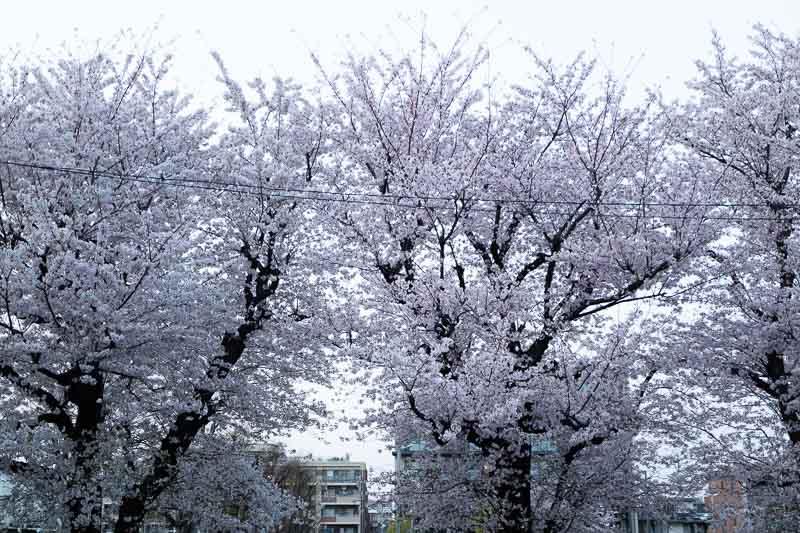【写真の撮り方】SNSでいいね!がもらえる桜撮影のコツその3