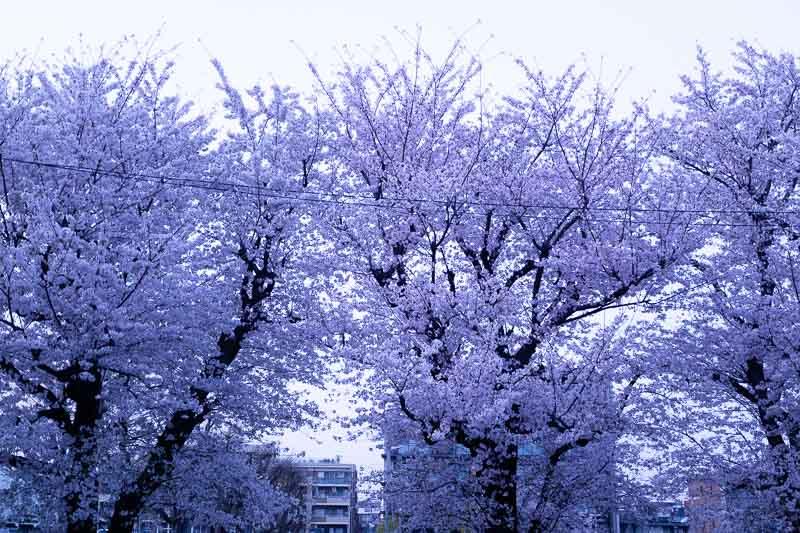 【写真の撮り方】SNSでいいね!がもらえる桜撮影のコツ | 色温度(ホワイトバランス)を「蛍光灯」にした写真