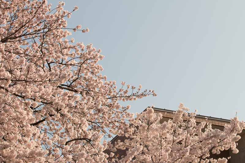 【写真の撮り方】SNSでいいね!がもらえる桜撮影のコツその2