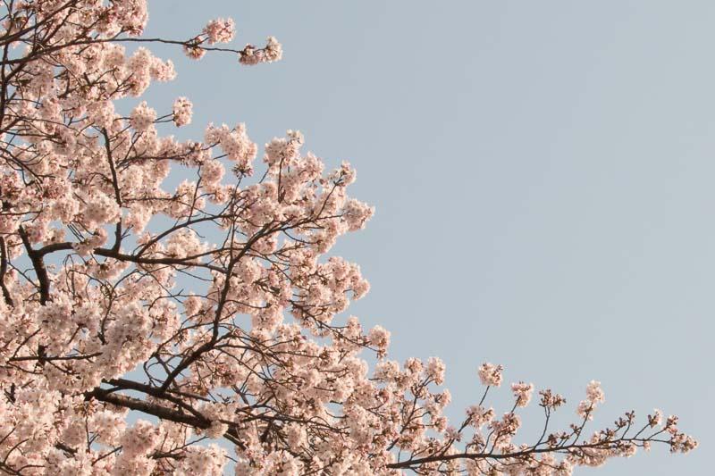 【写真の撮り方】SNSでいいね!がもらえる桜撮影のコツその2写真2