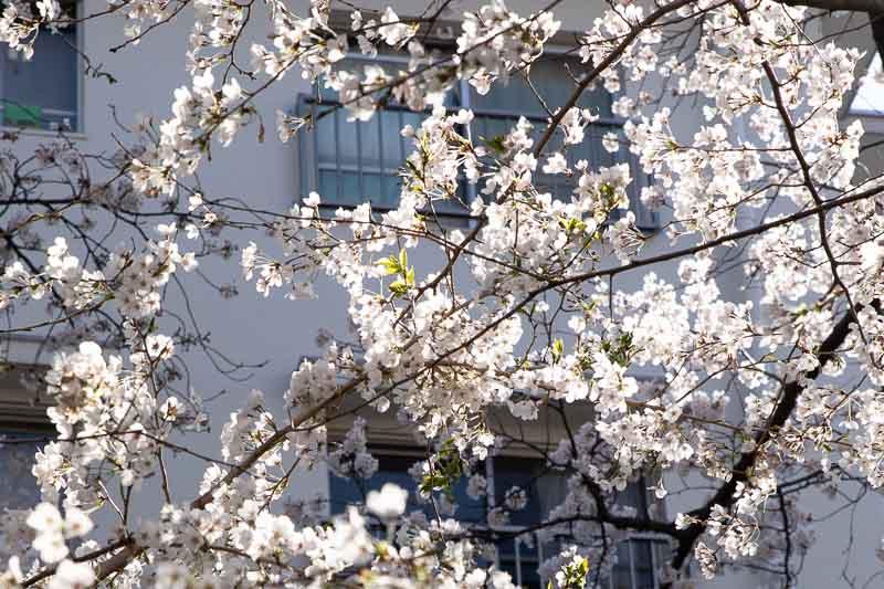 【写真の撮り方】SNSでいいね!がもらえる桜撮影のコツ5 半逆光で撮ってみよう