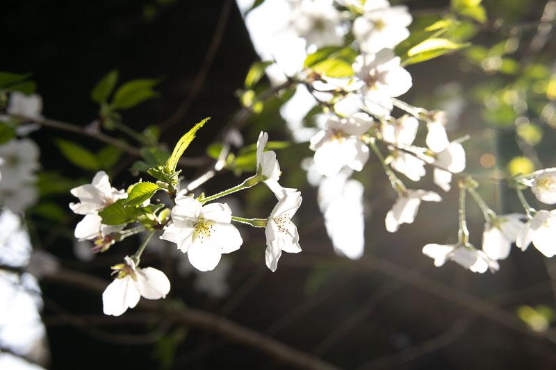 シグマ 56mm F1.4 Contemporaryレンズ(Canon EF-Mマウント用)で撮影した桜